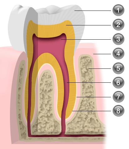 Parodont - opis